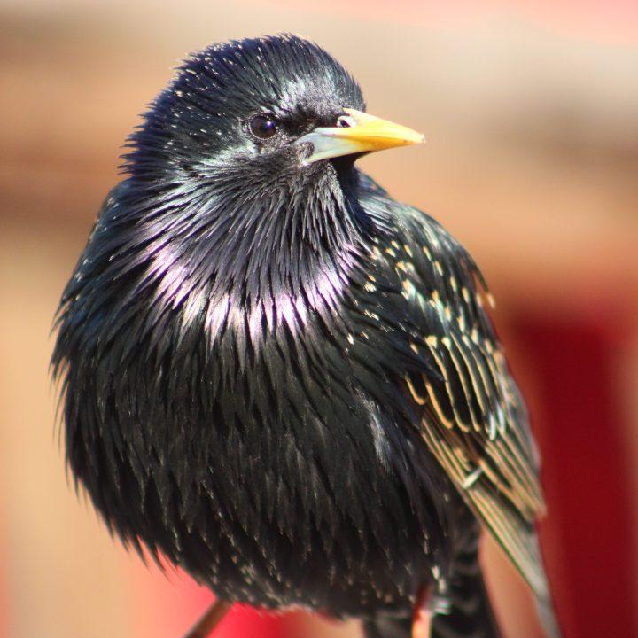 The Starling; A Master Mimicker and MurmuratorExtraordinaire.